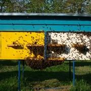 Пчелопакеты Закарпатье, Украина фото