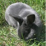 Племенные кролики породы Веснкий Голубой фото