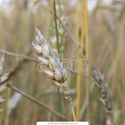 Зерно Казахстан, Зерно, Зерновые культуры, зерно в Костанае фото