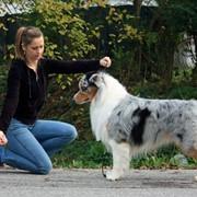 Курсы хендлеров для выставок собак фото
