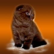 Шотландские котята (скоттиш фолд и страйт) фото