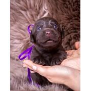 Шоколадный красавец лабрадор фото