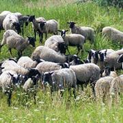 Овцы мясомолочные фото