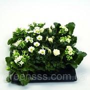 Цветущие комнатные растения -- Indoor plants flowering фото