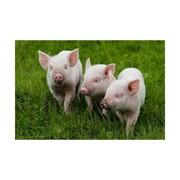 Премиксы для всех половозрастных групп свиней фото