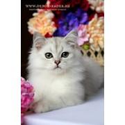 Роскошный шоу - котик фото