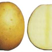 Картофель Каратоп фото