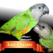 Сенегальский попугай фото