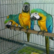 Ара сине-желтый фото