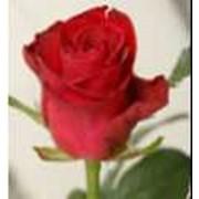 Розы в Украине фото