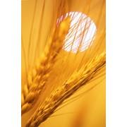 Семена озимой тритикале Доктрина 110 фото