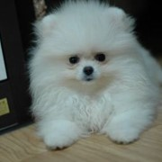 Собаки Белые померанские шпицы фото