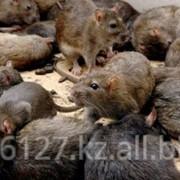 Уничтожение мышей, крыс фото