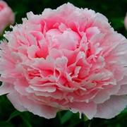 """Пион китайский, молочноцветковый (Paeonia lactiflora) """"Sarah Bernhardt"""" фото"""
