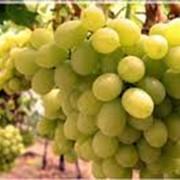 Виноград сорт Виктория фото