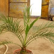 Пальма финиковая, финик, Алматы, Казахстан фото
