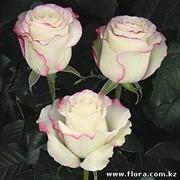 Роза Sweetness фото
