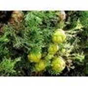 Эфирное масло Кипариса - 5 мл фото