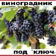 Виноградник под ключ фото