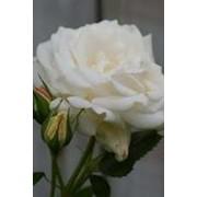 Саженцы Роза плетистая Белая Кокарда фото