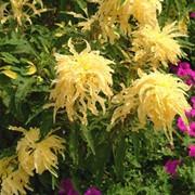 Семена амаранта Аврора фото