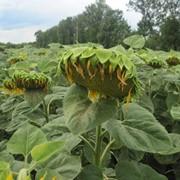 Семена подсолнечника АТЛАНТА купить в Украине, Семена подсолнечника Атланта купить заказать фото