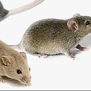 Дератизация. Уничтожение крыс, мышей фото