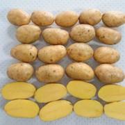 Картофель семенной Вега Элита фото