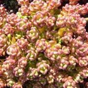 Очиток, седум орегонский (Sedum oreganum) фото
