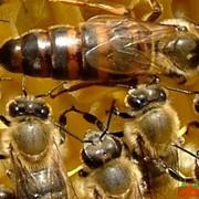 Пчелиная матка фото