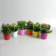 Каланхоэ Блоссфельда Розалина микс -- Kalanchoe blossfeldiana Rosalina mixed фото