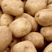 Картофель сортовой, купить сортовой картофель, сорт Миневра, Ривьера, Белла - Роза, Тирас Кобза фото