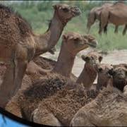 Ветеринарные препараты для верблюдов фото