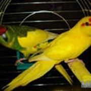 Попугай новозеландский прыгающий (какарик) фото