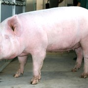 Премикс для лактирующих свиноматок 4%, Германия фото