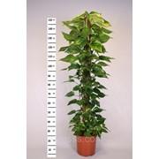 Эпипремнум перистый Mosspole -- Epipremnum pinnatum Mosspole фото