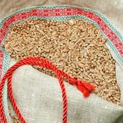 Пшеница яровая, сорт Koksa (Кокса) фото