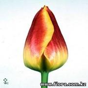 Тюльпан Thule фото