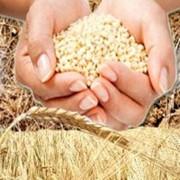 Переработка сельхозпродукции, переработка зерновых на крупу, переработка зерна, зерно, закупка зерна, переработка зерна на крупу, Украина фото