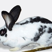 Кролики Немецкий пестрый великан фото
