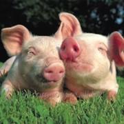 Кормовая добавка для промышленного производства свинины Лактобифадол фото
