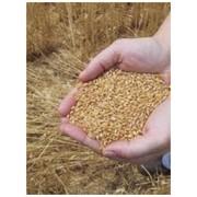 Продукция сельскохозяйственная. Зерно на экспорт фото