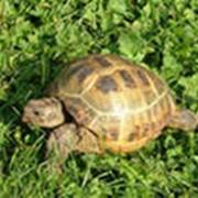 Среднеазиатские сухопутные черепахи фото