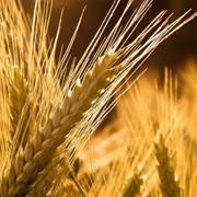 Семена озимой пшеницы Синтетик (1-ая репродукция) фото