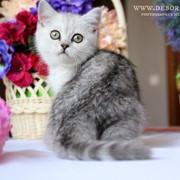 Очень красивые британские котята фото