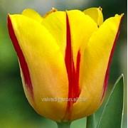 Тюльпаны на 8-е Марта (Washington) фото