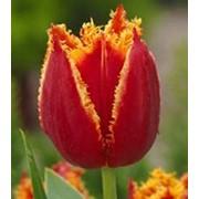 Тюльпаны к 8 марта оптом фото