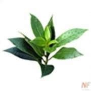 Чайного дерева эфирное масло, 10 мл фото
