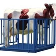 Электронные весы для взвешивания крупного рогатого скота УВК-СК 1.25х2.00 фото