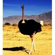 Ферма по разведению страусов бизнес план. фото